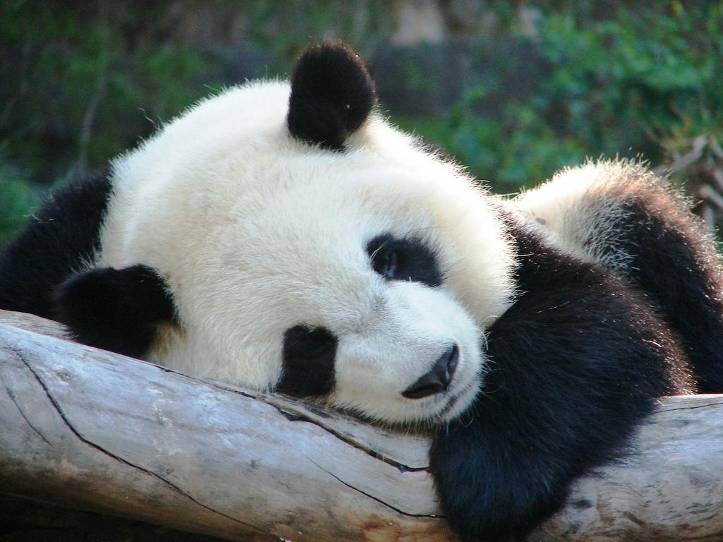 Image Gallery sleeping panda