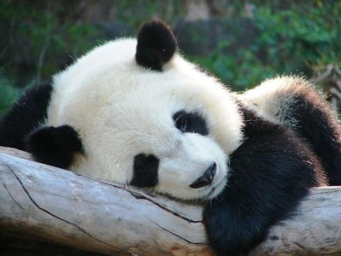 sleeping-panda